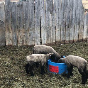 #60 Sheep Special
