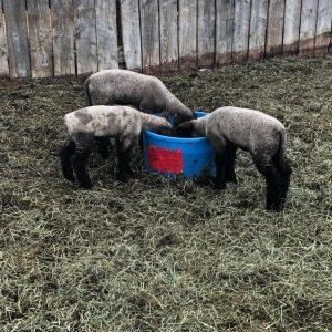 #60 Elite Sheep