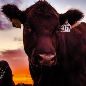 #70 Purebred Cow Mineral